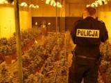 Powiat poznański: Zlikwidowana plantacja marihuany [ZDJĘCIA]