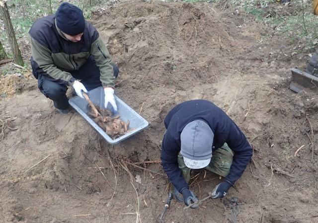 Członkowie stowarzyszenia Pomost prowadzili prace w miejscowości Gostchorze, oddalonej o kilka kilometrów od Krosna Odrzańskiego. Sprawdzali leśną transzeję z czasów II wojny światowej. Prace prowadzono w czwartek, 21 marca. W zarośniętej, ale wciąż jeszcze widocznej leśnej transzei znaleziono szczątki trzech żołnierzy niemieckich. W trakcie prac odnaleziono też przedmioty, związane z prowadzonymi tu w 1945 r. działaniami wojennymi. To m. in. skrzynki na amunicję i odznaki niemieckie.Członkowie stowarzyszenia Pomost odwiedzają województwa lubuskie regularnie. Zajmują się poszukiwaniem i ekshumacją zmarłych w czasie II wojny światowej żołnierzy niemieckich. Zobacz też wideo: KOSTRZYN NAD ODRĄ. Historia dawnych koszar przy ul. Mickiewicza