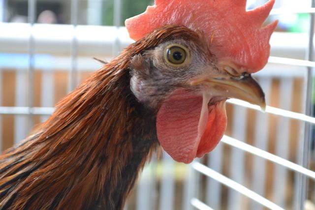 Grypa ptaków jest niebezpieczna dla drobiu. Wirus grypy ptaków może zachowywać aktywność w środowisku kurnika przez 5 tygodni.