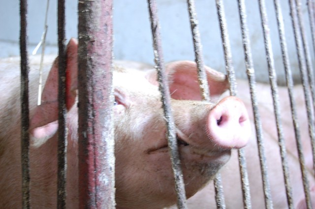 UE uchyliła odstępstwo dotyczące zwolnienia z obowiązku rejestracji siedziby stada oraz prowadzenia księgi rejestracji świń rolników, którzy utrzymują jedną świnię na własne potrzeby
