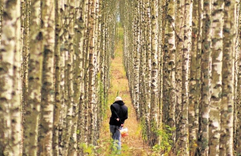 Jednym z drzew wyróżniających się nie tylko wyglądem, ale także, właściwościami leczniczymi jest brzoza. Ma swoje święto