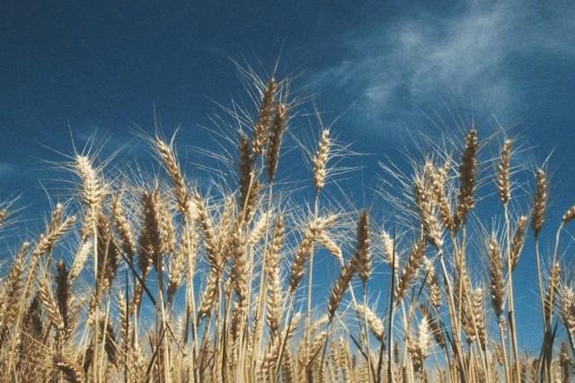 W województwie śląskim susza najbardziej wpłynęła na zboża oraz krzewy owocowe