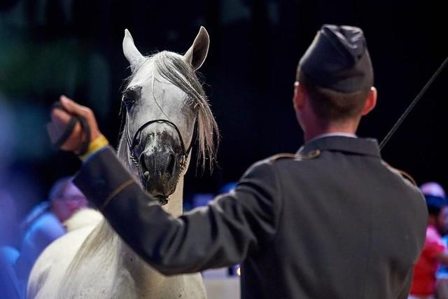 Już w ten weekend w Janowie Podlaskim odbędzie się coroczne święto koni arabskich zakończone aukcją Pride of Poland