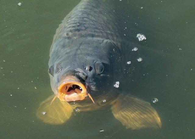 Karp królewskiKarp jest uznawany przez wędkarzy za rybę waleczną i sprytną.