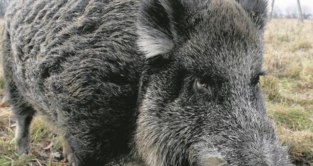 Siatki zagradzające przejścia dla zwierząt przez autostrady A1 i A2 mają być ustawione do 16 marca i pozostawione do odwołania