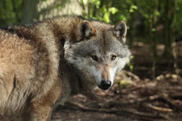 Decyzja o odstrzale wilków z okolic Brzozowa została wydana w trybie natychmiastowym.