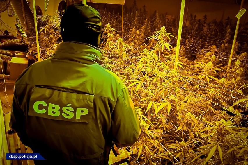 Funkcjonariusze CBŚP złożyli niezapowiedzianą wizytę plantatorom pod Inowrocławiem. Złapali ich na gorącym uczynku