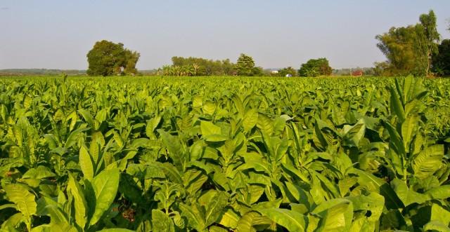Około 50 tys. osób pracuje przy uprawie tytoniu, a 10 tys. przy produkcji wyrobów tytoniowych. Z kolei handlem tymi produktami trudni się około 500 tys. osób