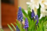Wiosenne kwiaty doniczkowe – TOP 5. O czym powinieneś pamiętać