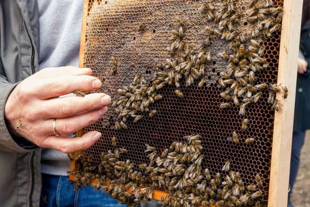 20 maja, jak co roku na całym świecie obchodzony jest Dzień Pszczół. To jedne z najbardziej pracowitych owadów. Pszczoła robotnica podczas wyprawy po nektar odwiedza średnio od 50 do 100 kwiatów. To dzięki nim możemy jeść owoce i warzywa, nosić jeansy czy bawełniane koszulki. Niestety, z roku na rok jest ich coraz mniej. Aż 222 z około 470 gatunków pszczół żyjących w Polsce są zagrożone wyginięciem. Przyczyniają się do tego zmiany klimatu, ale także negatywna działalność człowieka. Zobacz, jak możesz pomóc pszczołom ---->