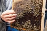 Pszczołom grozi wyginięcie. Sprawdź, jak im pomóc, aby przetrwały