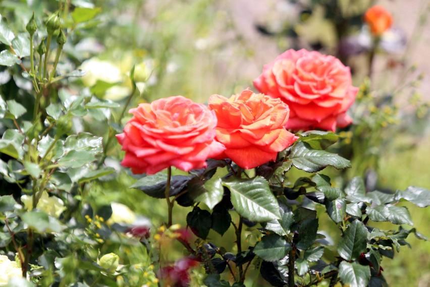 W Rosarium Parku Śląskiego zakwitły róże. Jest tu pęknie!Zobacz kolejne zdjęcia/plansze. Przesuwaj zdjęcia w prawo - naciśnij strzałkę lub przycisk NASTĘPNE