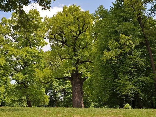Dąb w Wiśniowej został uwieczniony na szkicu autorstwa Józefa Mehoffera. Szkic ten pojawił się zaś na rewersie stuzłotowego banknotu, który był w obiegu w latach trzydziestych XX w. Na cześć Mehoffera, drzewo nazwano Józef