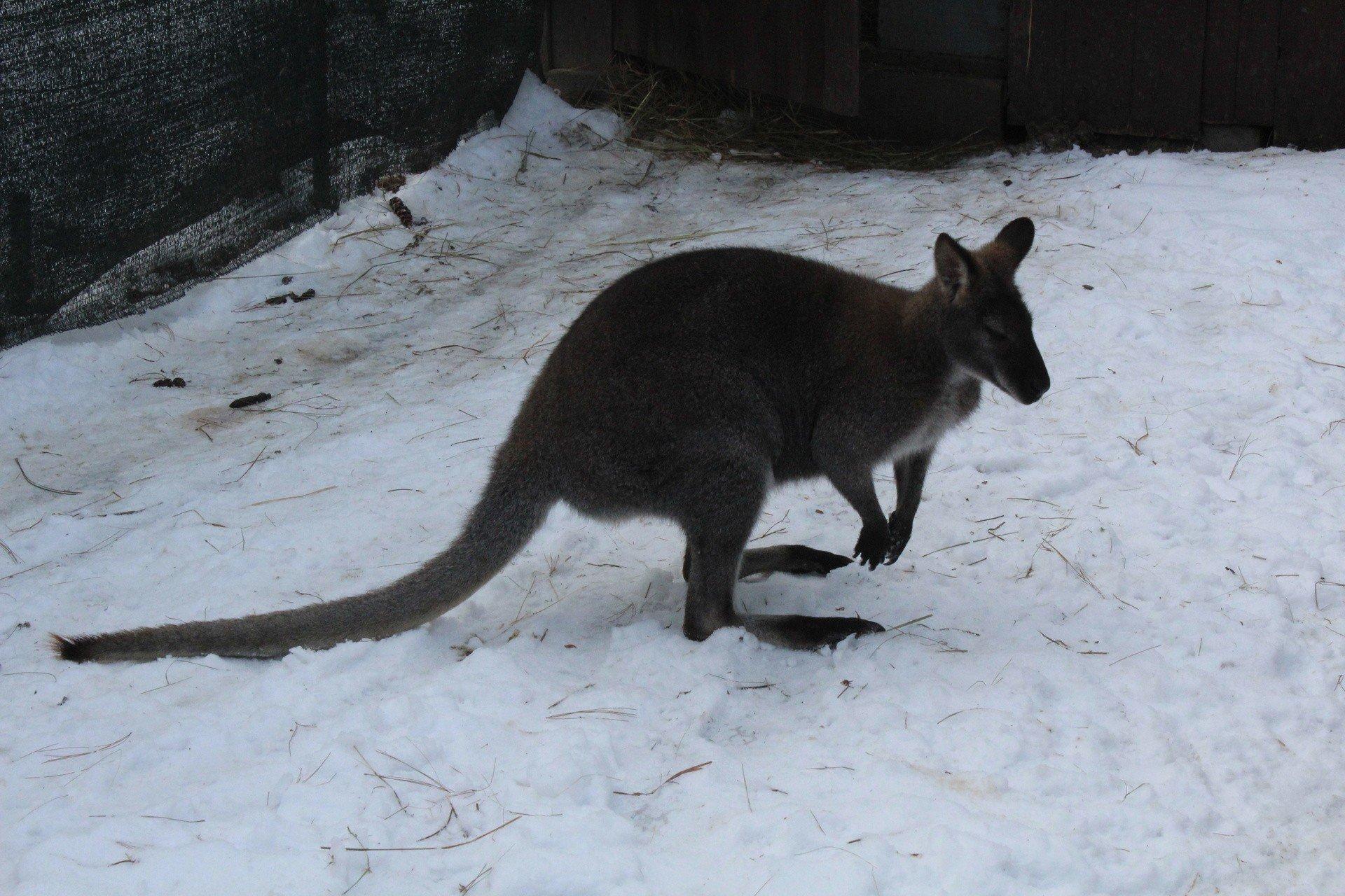 co za penis w kangur)
