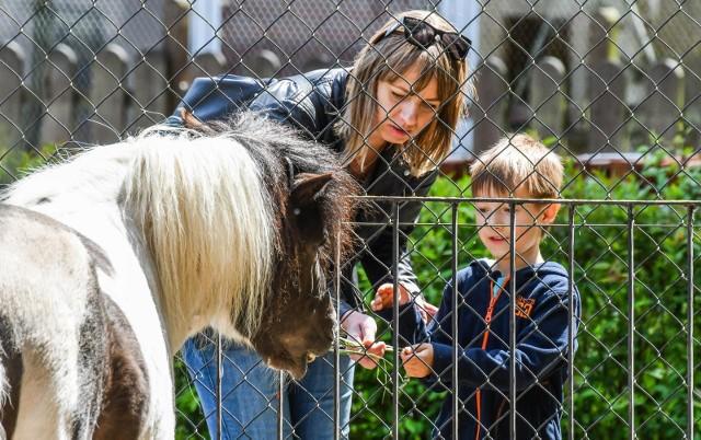 W Myślęcinku Dzień Dziecka już trwa! Najmłodsi wraz z opiekunami odwiedzić mogą m.in. Ogród Zoologiczny, którego mieszkańcy zawsze wzbudzają sympatię - zresztą z wzajemnością, pozwalając dzieciom dać się nakarmić czy pogłaskać. Zoo czynne jest codziennie w godz. 10-19.Dodatkowo bydgoskie zoo 1 czerwca zaprasza też przed ekrany monitorów, bowiem w ramach wirtualnej niespodzianki o godzinie 12 dzieci będą mogły za  sprawą transmisji na żywo na Facebooku podejrzeć zwierzęce maluchy.W weekend oraz 1 czerwca w godz. 11-18 czynny jest także Zaginiony Świat, w którym mieszkają dinozaury i inne stworzenia pierwotne. W ramach prezentu z okazji święta milusińskich, w cenie biletu wstępu (5 zł) można wejść także do Makroświata, by obejrzeć modele owadów w gigantycznym powiększeniu.