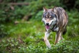 Atak wilków w Kielnarowej pod Rzeszowem! Zagryzły młodego psa. Czytelnik: Nie chodzi mi o żadne odszkodowanie, tylko o bezpieczeństwo ludzi