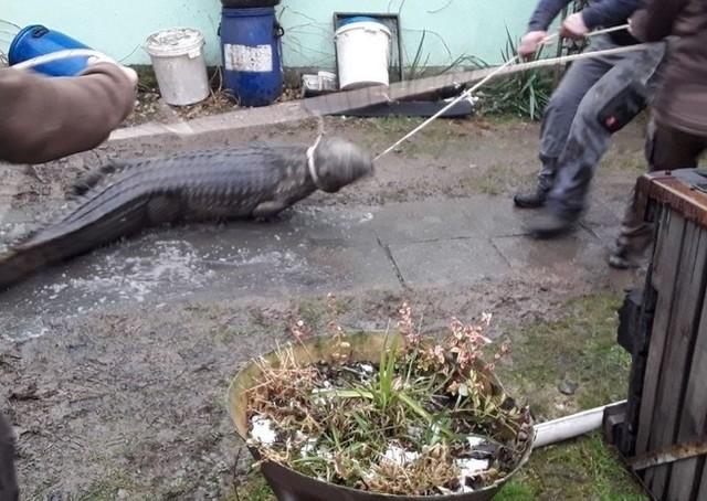 Krokodyl nie ucierpiał w pożarze. Policja zapowiedziała, że wystąpi do inspekcji weterynaryjnej, aby skontrolowała czy hodowla jest legalna.