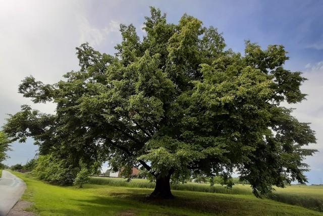 Lipa rośnie w Dulczy Wielkiej, miejscowości w gminie Radomyśl Wielki, w powiece mieleckim. Jej piękno i niezwykłość polega na tym, że nie przypomina innych drzew tego gatunku. Jest przysadzista, posiada szeroką koronę, a najniższe konary łukowato przeginają się niemal do samej ziemi