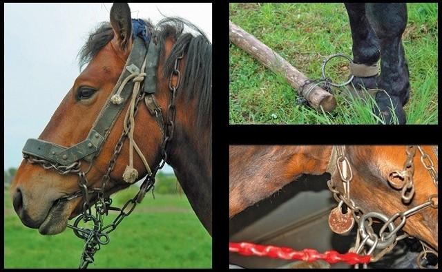 Koń nie mógł jeść i się poruszać. Pysk miał skrępowany łańcuchami, a do nogi przymocowany drąg.