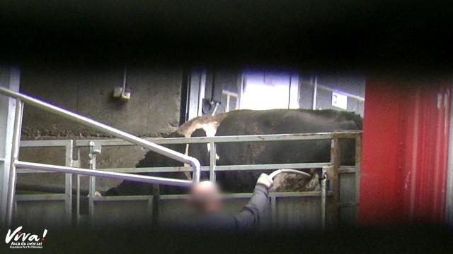 Przedstawiciele Fundacji Viva! przekonują, że w rzeźni McKeen Beef dochodziło do znęcania się nad zwierzętami