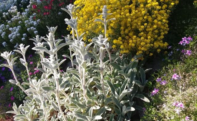 Mocne nasłonecznienie i skalista ziemia to trudne warunki. Ale niektóre rośliny je uwielbiają.