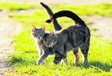 Marzec u kotów  to okres godów, trzeba jednak przyznać, że jest on dla tych zwierząt bardzo męczący