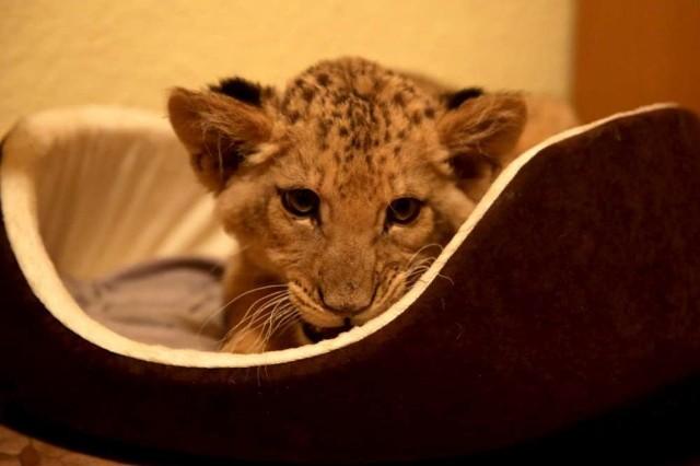 Trzymiesięczna lwica trafiła do Poznania