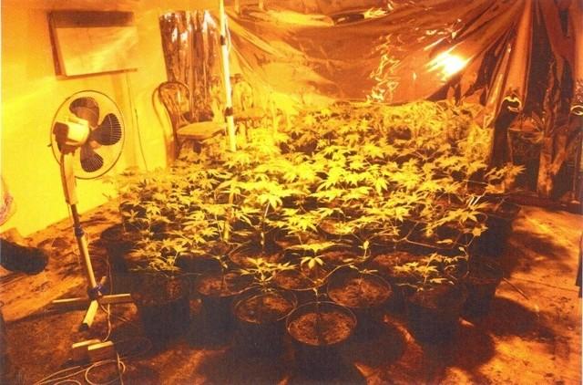 Wszystko zaczęło się gdy na początku roku, gdy w Jędrzejowie zlikwidowana została plantacja konopi z jakich przygotowuje się marihuanę.