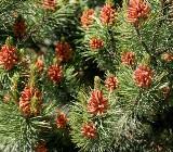 Jodła - drzewo na anginę