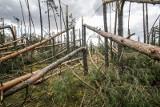 Tornado w Koniecpolu powaliło 300 ha lasu. Nadleśnictwo wprowadziło zakaz wstępu do lasu