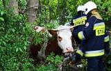 W podsądeckiej wsi krowa wpadła w głębokie koryto potoku, w którym nie płynie woda