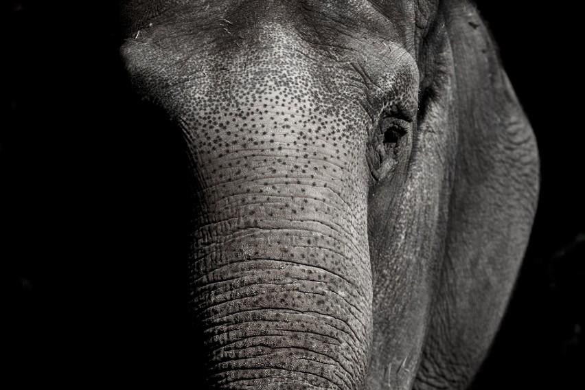 Hiszpania: dramat w ogrodzie zoologicznym. Ciężarna słonica zadała śmiertelny cios trąbą pracownikowi placówki