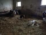 Gospodarstwo grozy pod Kutnem. Łódzki OTOZ Animals wkroczył do akcji. Drastyczne zdjęcia