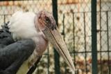 Najstarsze zwierzęta Śląskiego Ogrodu Zoologicznego. Poznajcie marabuta Marka i niedźwiedzicę Kasię