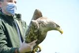 Leśnicy z Nadleśnictwa Włoszakowice znaleźli otrutego orła bielika. Udało się go uratować. Bielik znów szybuje w przestworzach