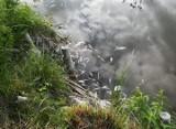 ZBĄSZYŃ. Śnięte ryby w jeziorze Błędno. Do akcji wysłano strażaków