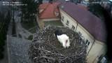 Bociany w Przygodzicach będą mieć potomstwo. W gnieździe pojawiło się piąte jajo