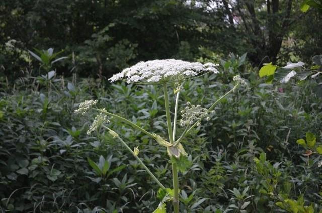 Barszcz Sosnowskiego jest bardzo niebezpieczną rośliną