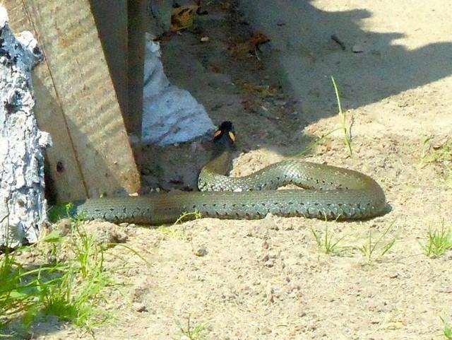 Jednometrowy zaskroniec złapany na posesji w Bielsku to wyjątkowo duży okaz. Samice tego gatunku osiągają średnio długość od 85 cm do 1,2 m, a samce od 70 cm do 1 metra.
