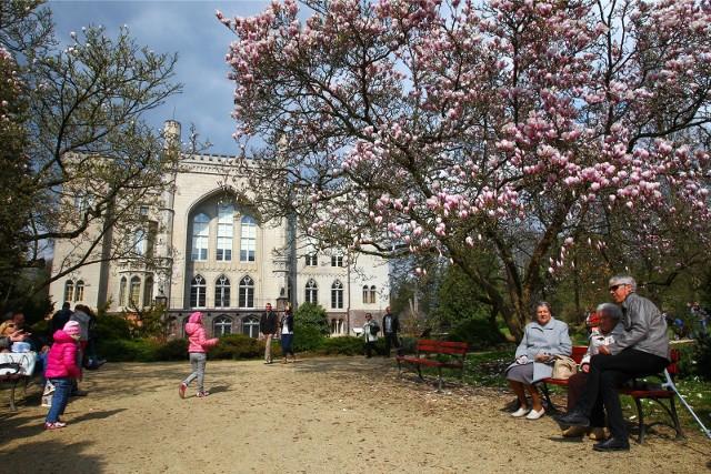 Już niedługo w Arboretum Kórnickim zakwitną magnolie.