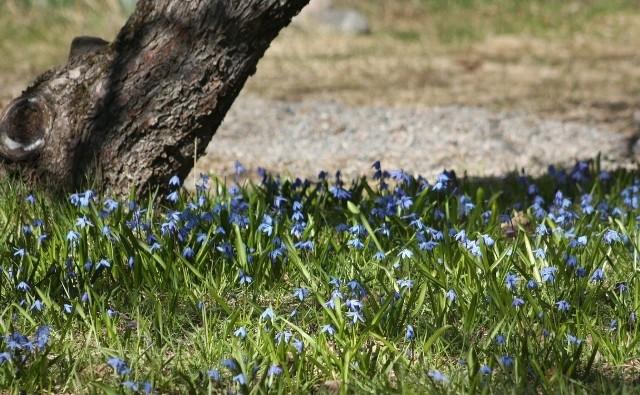 Cebulice i śnieżniki to wdzięczne kwiaty, które ożywią ogród już wczesną wiosną.