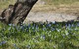 Śnieżniki i cebulice w ogrodzie. Kwiaty wczesnej wiosny