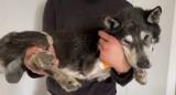 Sołtys wsi pod Świdnicą zagłodziła psa niemal na śmierć [ZDJĘCIA, FILM]
