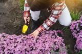 Astry: jesienne kwiaty. Jak je sadzić i pielęgnować? Sprawdź nasz poradnik