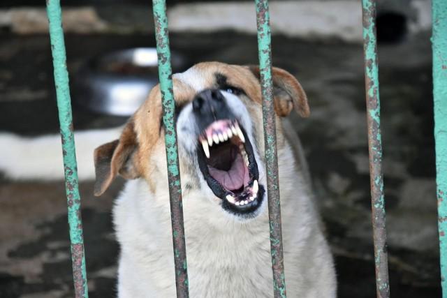 Pies, który zareagował agresywnie, miał pięć lat, był mieszańcem. - Był badany, po konsultacji weterynaryjnej został uśpiony - mówi prokurator Dariusz Bebyn. Zdjęcie ilustracyjne.