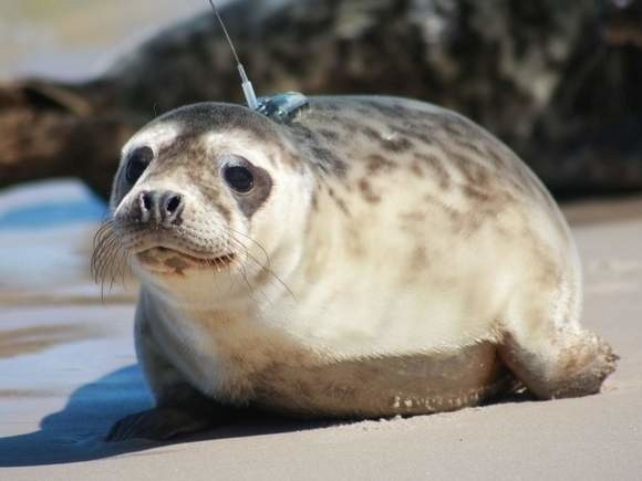 W tym tygodniu do Doliny Charlotty ma przyjechać sześć pierwszych fok, zamieszkają w fokarium.