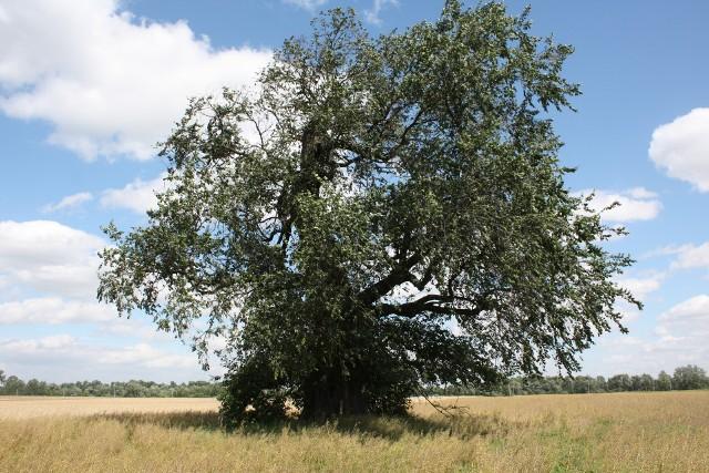 Podobno ponad 300-letni wiąz Popiel najpiękniej prezentuje się latem, gdy samotnie stopi wśród falujących łanów zbóż
