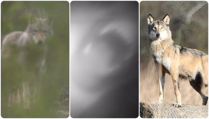 Na zdjęciach pokazujemy drapieżniki w Lubuskiem w ich...