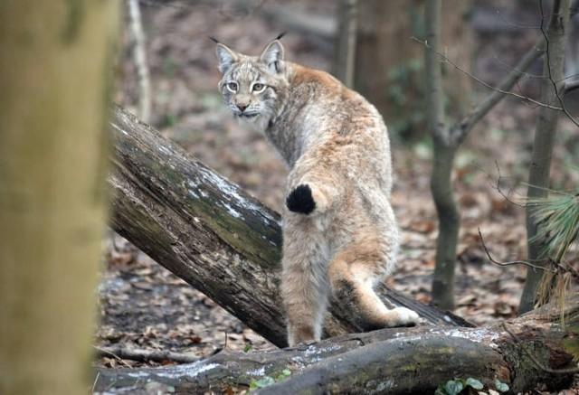 """Ryś, którego obecność zarejestrowano w 2014 roku w Puszczy Noteckiej wywołał dużą sensację. Nie bez powodu. Był pierwszym rysiem na tych ziemiach od ponad 200 lat. Siedem lat później na terenie pilskiej Regionalnej Dyrekcji Lasów Państwowych żyje już kilkadziesiąt rysiów. Tyle tych pięknych i rzadkich zwierząt wypuszczono na wolność w ramach projektu """"Powrót rysia do północno-zachodniej Polski"""" realizowanego przez Zachodniopomorskie Towarzystwo Przyrodnicze wspólnie z Instytutem Biologii Ssaków PAN w Białowieży oraz Ośrodkiem Kultury w Mirosławcu."""
