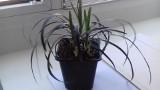 Uwaga hit! Łodzianie pokochali czarne kwiaty, kupują dalie, malwy, bratki i petunie